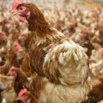 Georgia mantiene suspendidas todas las exposiciones avícolas
